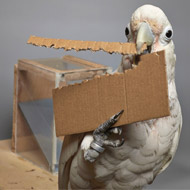 Cockatoos can create tools of different lengths