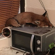 Family find fox asleep on top of microwave
