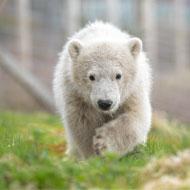 Hamish the polar bear celebrates first birthday