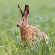 First UK hares test positive for RHDV2