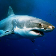 Shark DNA could hold clues to fighting cancer