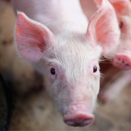Technology used to detect pig facial expressions