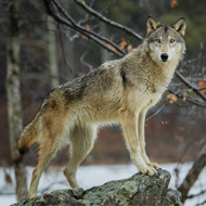 Wolves and dogs 'collaborate equally well with humans'