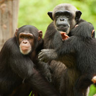 Chimpanzee population threatened by Chinese dam