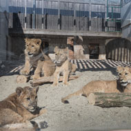 Born Free embarks on biggest lion relocation in history