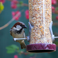 House sparrows top RSPB Birdwatch survey