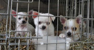 Third party puppy sales set to be banned