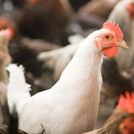 Gene-edited chicken cells prevent spread of avian flu