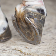 Study reveals insights into equine hoof growth