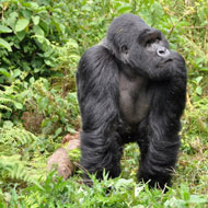 Study suggests gorillas form social bonds with distant relations