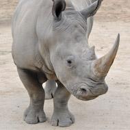 Baby white rhino born to poaching victims