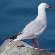 Australian seagulls found to carry antibiotic resistant bacteria