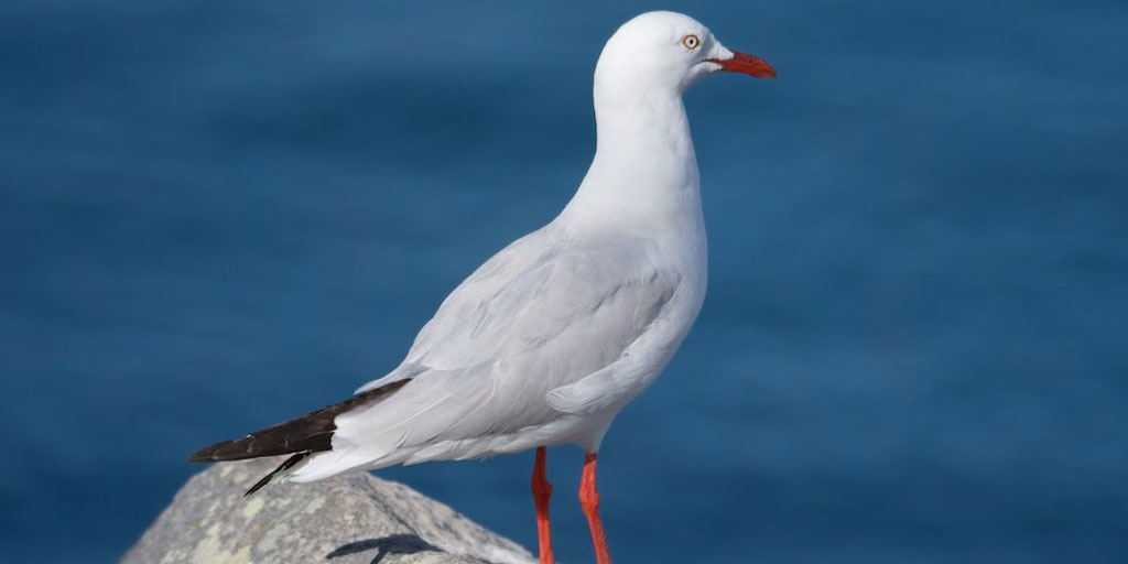 Australian seagulls found to carry antibiotic resistant bacteria