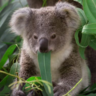 Scientists discover chlamydia-free koala population
