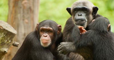 Chimps bond after watching films together - study