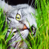 New insights on why cats eat grass