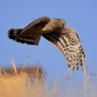 Record breeding year for hen harriers