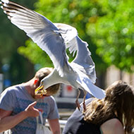 Staring down seagulls could save your chips, study finds