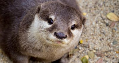 Cites: Trade ban to tackle 'otter cafes' craze