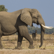 Cites bans export of live-caught African elephants to zoos