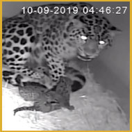Pair of endangered Amur leopard cubs born at Colchester Zoo