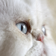 Persian cats at high risk of health problems