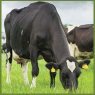 Farmers urged to check cattle for summer mastitis