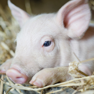 New welfare code for pigs laid before parliament