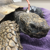 Exotics vets treat 61-year-old tortoise for bladder stones