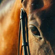 Frequency of WFFS mutation in Thoroughbreds investigated