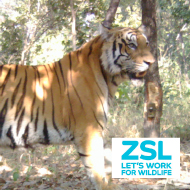 ZSL launches appeal to double wild tiger numbers in Nepal