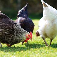Winter avian flu threat