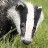 BVA responds to new badger cull study