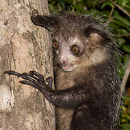 Researchers discover aye-aye's