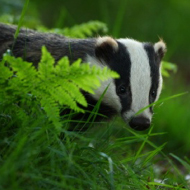 Does badger culling drive individuals further afield?