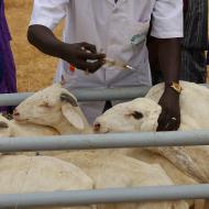 Rift Valley fever vaccine 'safe for pregnant animals'