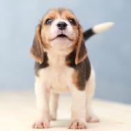 Kennel Club announces Assured Breeder Scheme updates