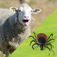 Emerging tick-borne parasite identified in Scottish sheep