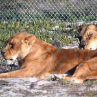 British Airways opens rescued lion enclosure