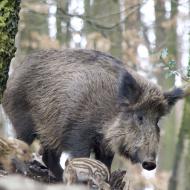ASF virus moves closer to German border