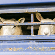 Irish minister rejects call for live animal export ban