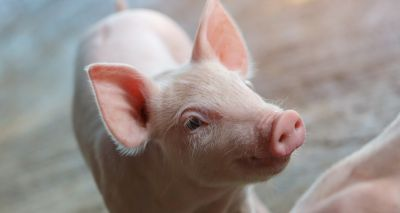 Piglet study shows immune systems differ from a young age