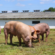 Study reveals replication sites of emerging pig disease