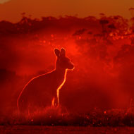 BEVA and BSAVA donate £7,000 to Australian fires veterinary care