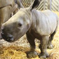 Colchester Zoo announces birth of white rhino calf