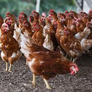 Suspected outbreak of avian disease in N.Ireland