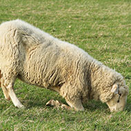 Lame sheep adjust their behaviour to reduce discomfort, study finds