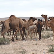 Major cull of feral camels underway