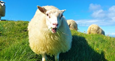 Sheep forage differently depending on how healthy they are, study shows