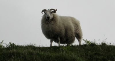 Castration of rams should be 'last resort', say vets